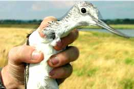 In-hand photograph of a Greenshank
