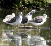 Picture of four wading Greenshanks
