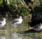 Picture of wading Greenshanks