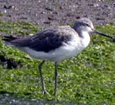 Picture of a Greenshank on the shore